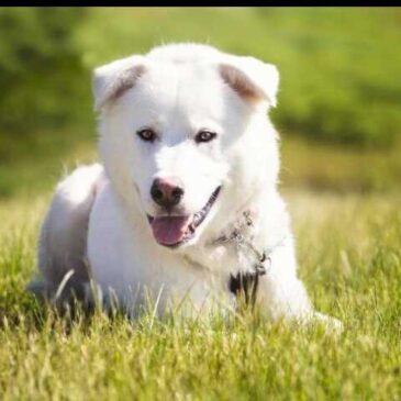 Halo Husky – Klondike