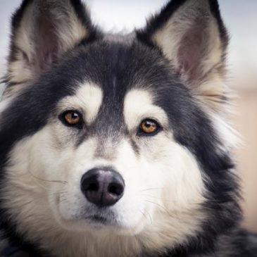 Halo Husky – Gray
