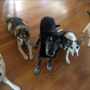 Heather's former pack: Marina, Echo, Graham, Shasta and Cleo