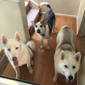 Heather's dog pack: Halo, Shasta, Marina