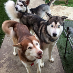 Thor in the middle playing with some of his husky friends.
